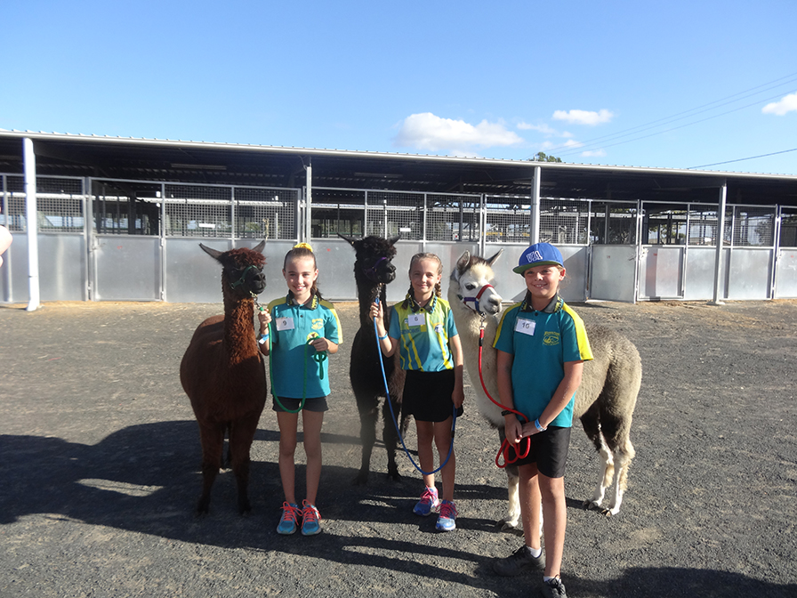 Agrotrend alpacas junior paraders Violet Graham with Felix, Jordis Graham with Gypsie and Bailey Anne Iacuzzi with Zaharah.