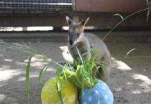 Easter at the zoo - Rusty the wallaby