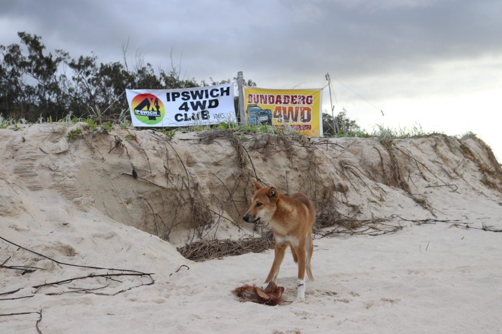 Dingoes near camp at the Fraser Island clean-up.
