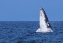 A humpack whale (not pictured) was spotted off the coast of the Bundaberg Region on 23 May.