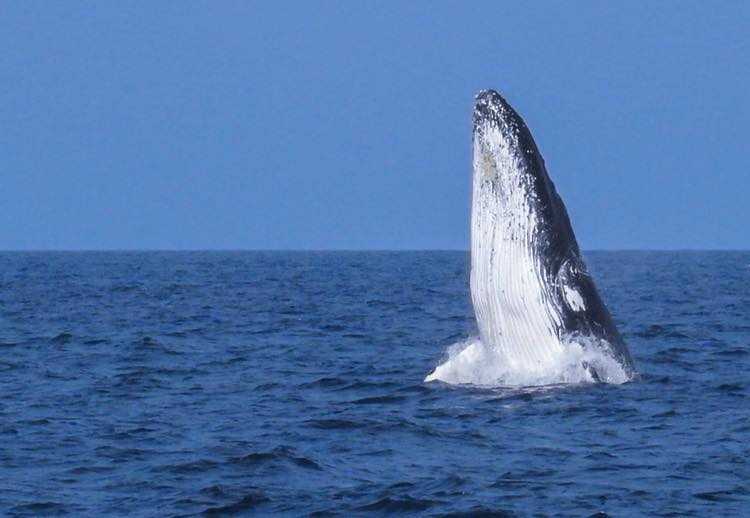First humpback whale