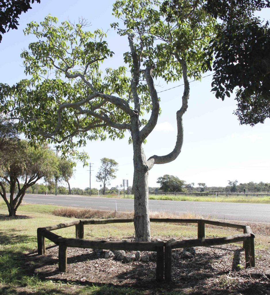 Hinkler tree, located on Bargara Road on the former Bargara State School grounds