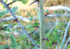 The invasive Honey Locust plant's long, strong spines can inflict serious injuries and infections to humans, livestock and wildlife Source: DAF
