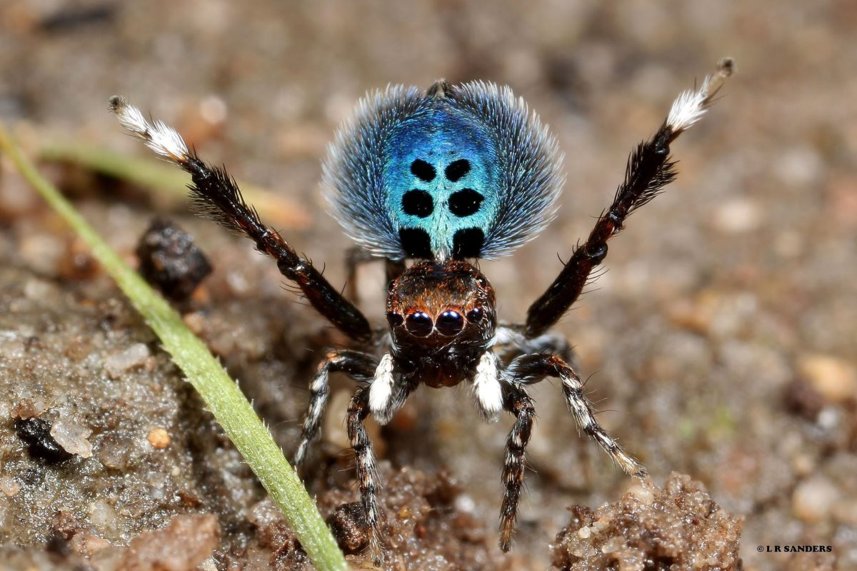Rare peacock spider photographed – Bundaberg Now