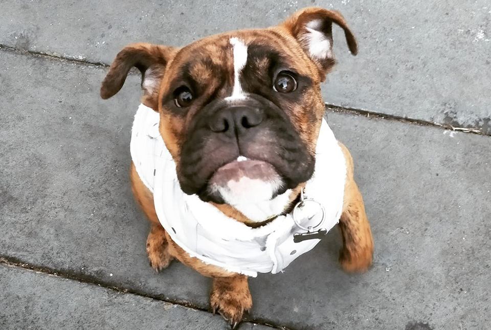 Emily Shoenberger and Thomas Clark are warning pet owners of toxic plants after their Australian bulldog puppy Bean fatally ingested a root.