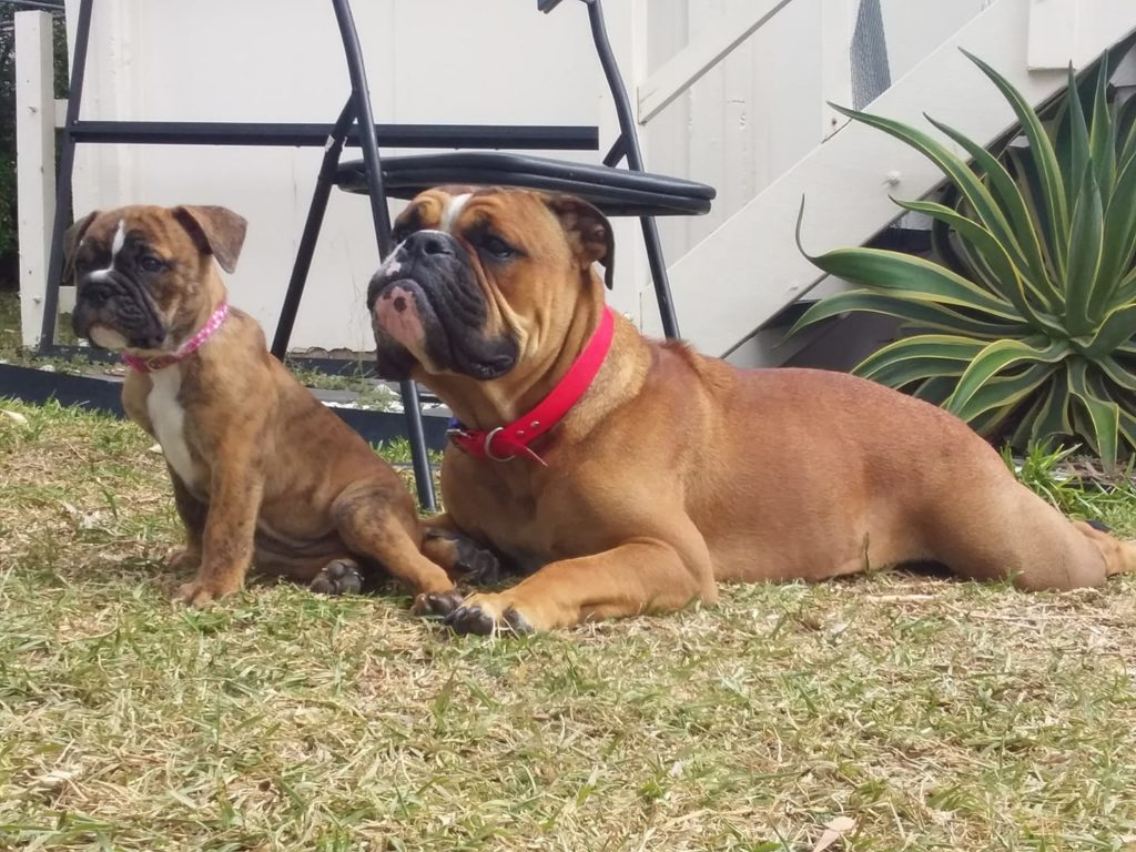 The couple's two dogs, Bean (left) and Boston (right). Bean fell fatally ill after swallowing the plant.