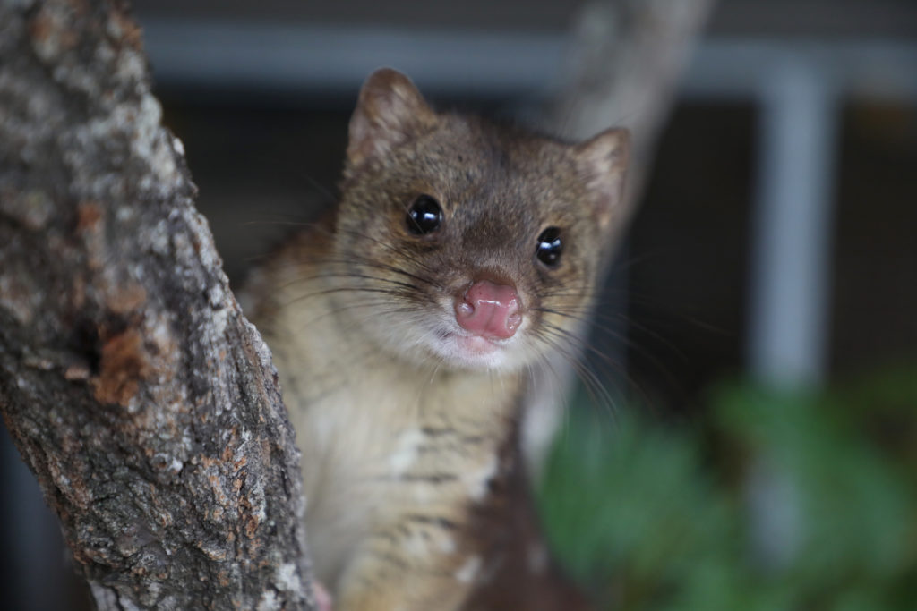 Crunchy the quoll