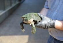 Alby the white-throated snapping turtle is the newest addition to Alexandra Park Zoo.