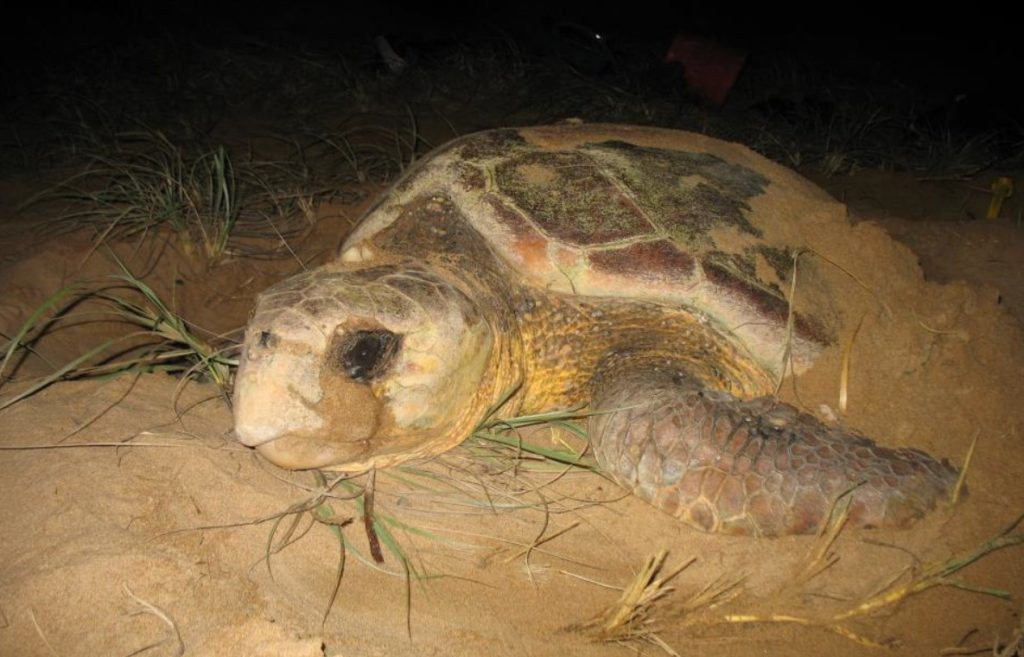 Mon Repos rangers are looking for volunteers in the lead up to turtle season.