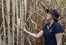 Sugarcane research