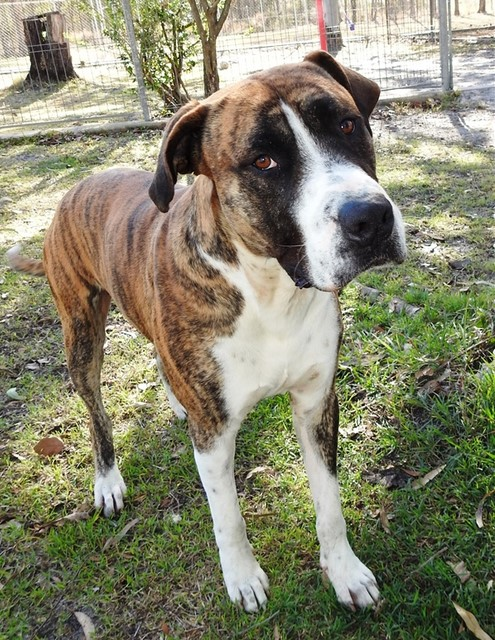 Ace is a boxer/great dane mix who is looking for a home.
