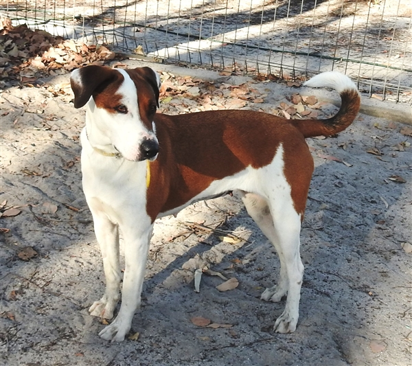 Susie needs a home and is available for adoption at the Bundaberg RSPCA.