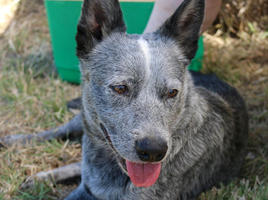 Rocky the cattle dog is looking for his forever home.