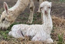 Littabella Alpacas