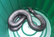 red-bellied black snake