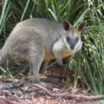 zoo wallabies