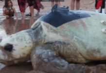 Merlie the loggerhead turtle