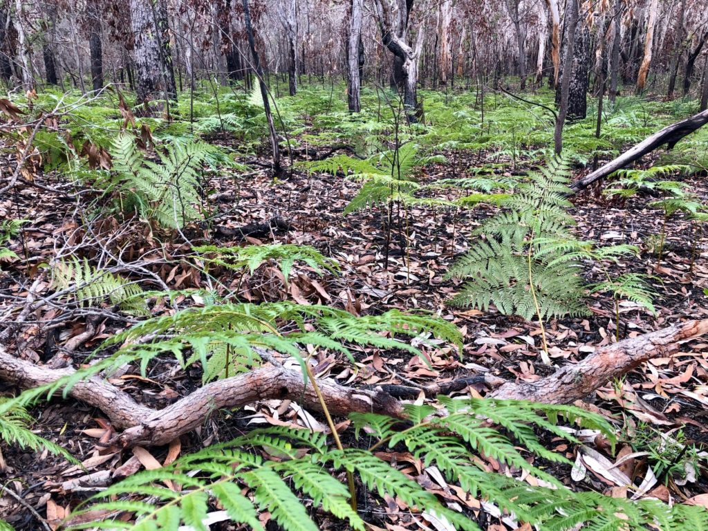 Ferns continue to emerge near the boardwalk among the trees charred by the National Park fires eight months ago.