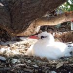 A 23-year-old Red-tailed Tropicbird, believed to the oldest-known breeding individual in the world, nests on Lady Elliot Island