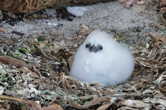 A Red-tailed Tropicbird chick, nicknamed 'Marshmallow' found on Lady Elliot Island.