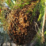 Bundaberg bee Keepers