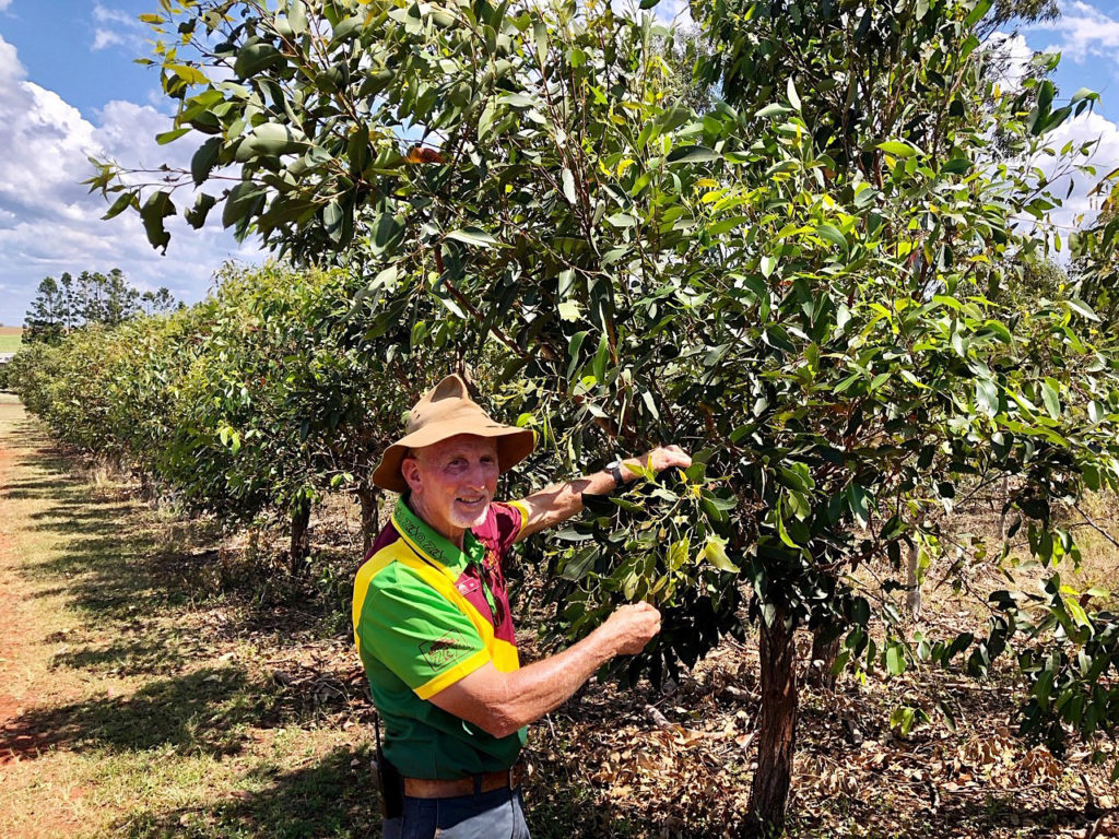 It is important to have a supply of gum leaf tips available for the koalas and Snakes Downunder has its own onsite plantation.