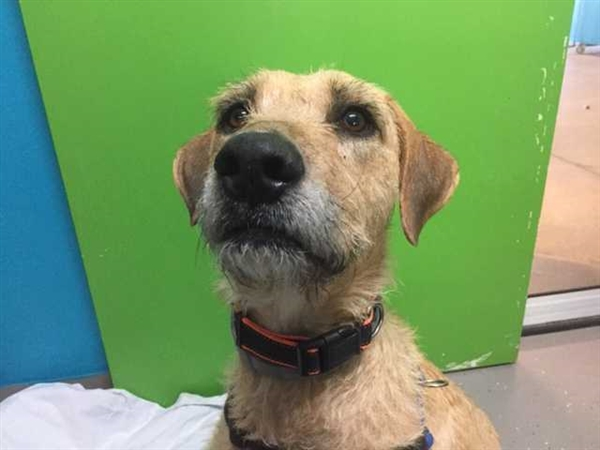 Lena the Irish Wolfhound/Golden Retriever mix is looking for love and a family of her own