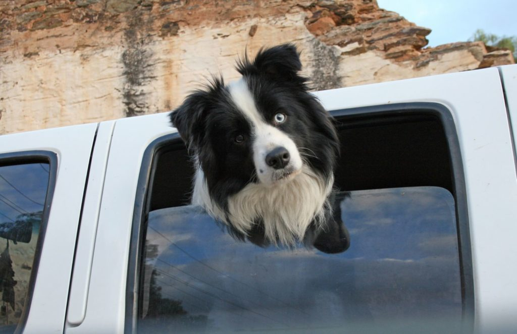 Dogs in utes